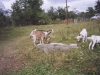 Old Jewish Cemetery, now a goat field
